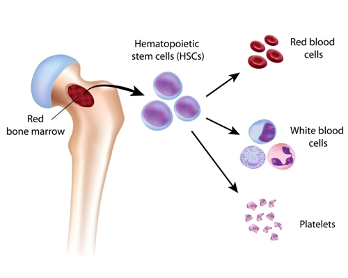 Bone marrow transplants using antibody-based treatment